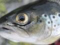 fisk_hardangervidda_argehovd_skartjønn